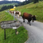 vaches8